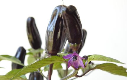 pot black chillies