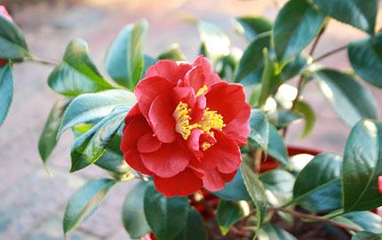 red camellia xmas