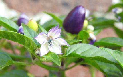 Chilli plants 'loco