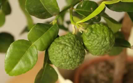 kaffir lime fruits