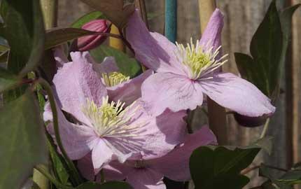 Fragrant Spring Clematis