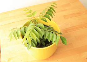 Grow Your Own Indian Curry Leaves