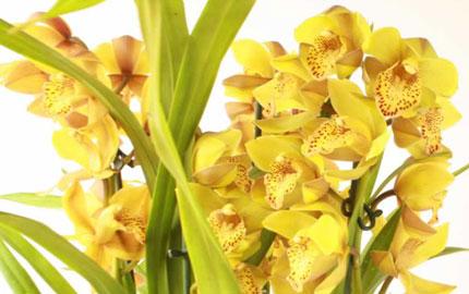 Gold Cymbidium Orchid