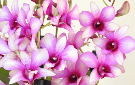 luxury orchid
