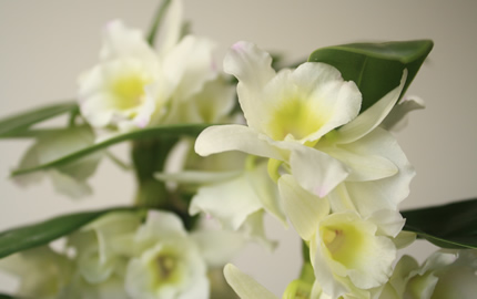 Spray orchids now in season