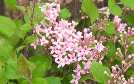 Everlasting Lilac