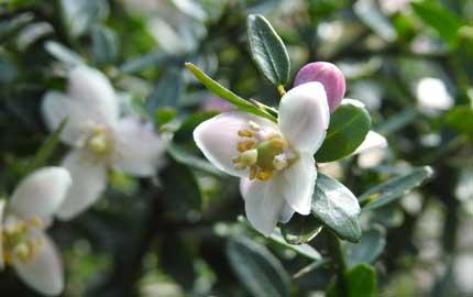 Finger Lime Blossom