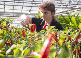 Fiona pruning Chillies