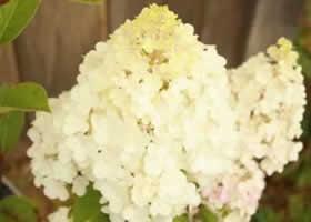 limelight paniculata hydrangea