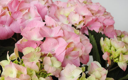 New Season pink hydrangeas