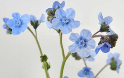 Japanese Forget me nots grown in sussex in biodegradable pots