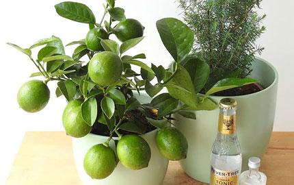 gin and Juniper