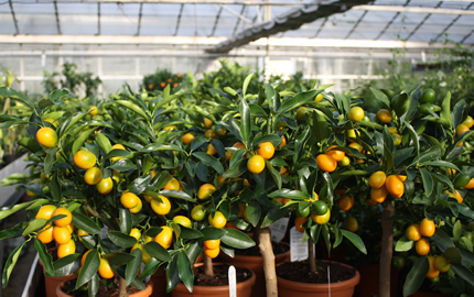 kumquat trees literally mean gold fruit