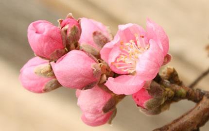 Nectarine Blossom.