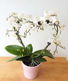 Romantic valentines orchids