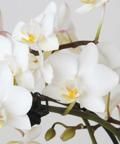 heart orchids