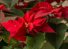 Classic Red Poinsettia Plant