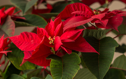 Giant Poinsettia Plants