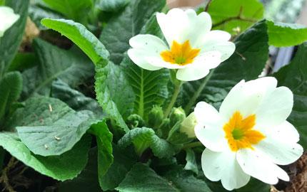New season primroses