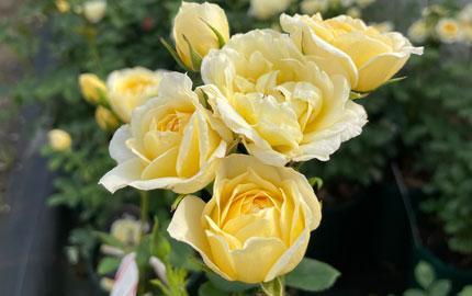 Our Dream Rose