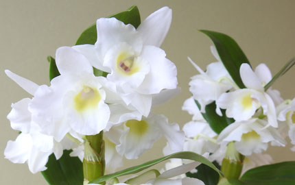white spray orchid