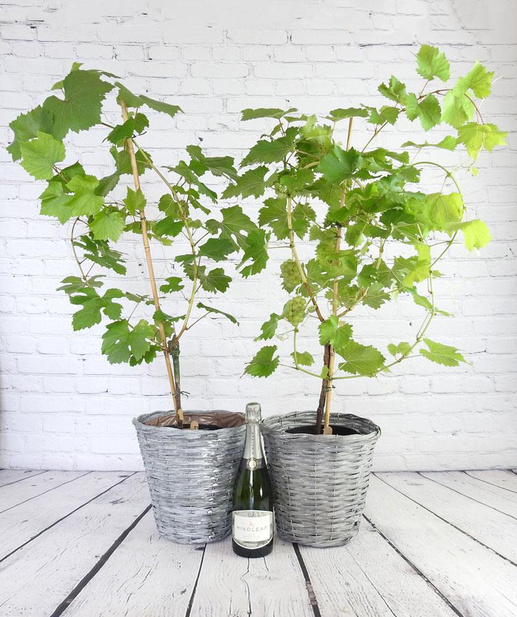 Sparkling Vine and Wine