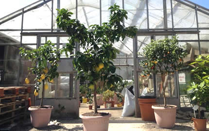 larger citrus trees at our Sussex nursery