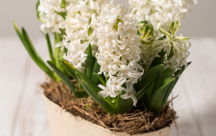 Living Hyacinth Planter